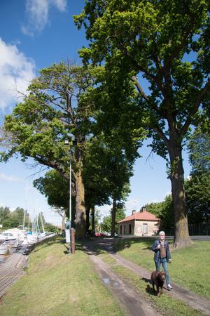 Miljön intill den inre hamnen är i dag ett populärt stråk för Köpingsborna. Utan de karaktäristiska ekarna och lönnarna längs kajen kommer miljön att förändras.