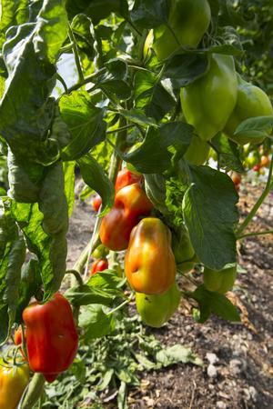 På avstånd ser det ut som paprikor men just den grönsaken odlas inte i Vackstanäs. Detta är i stället tomater som passar särskilt bra att göra sås på.