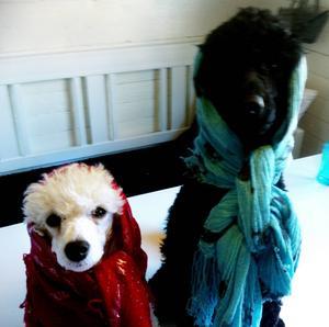 Pudlarna Lily och Nils firar skärtorsdag.