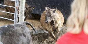 Glädjen var stor på ett tidigare kosläpp i Ytterberg, när djuren släpptes ut från ladugården på våren.