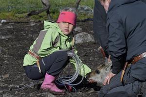 Eijra 6 år håller en renkalv runt käken, så den håller sig lugn, medan den får sitt renmärke.