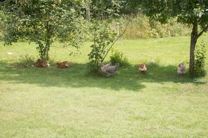 Hönsen går fria ute på gården.