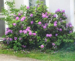 En stor buske med rhododendron