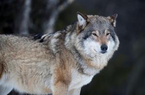 Enbart nu i maj har varg dödat ett 60-tal får vid Molstabergs säteri. Foto: Heiko Junge/TT