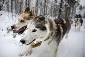 Tio stycken Alaskian Huskies kommer dra ett spann med turister mellan flygplats och skidområde. Arkivbild.