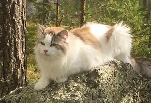 495) Missan är inte som andra katter. Foto: Bo Arne Nilsson