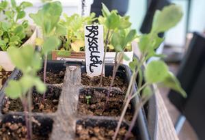 Ohyra gillar kål. Därför förodlar Kajsa den i växthuset så den är lite större när den sätts ut i palkragen.