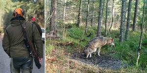 Jägarna vågar inte jaga den skadade vargen av rädsla för att få problem med myndigheter. Bild:TT/Länsstyrelsen Uppsala