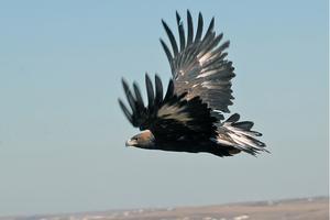 Kring Kölvallen finns kungsörnar som kan skadas av den blivande vindkraftsparken, enligt Gävleborgs läns ornitologiska förening.