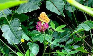 Rusarebo äng lockar till sig många olika arter. Här är en pärlemorfjäril.