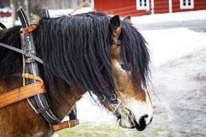 Bäckens Bork, en fyraårig valack från Kilafors, var en av hästarna som drog fram timmer ur skogen.