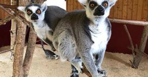 Inne på djurparken kommer semestergästerna att få träffa Lemurerna samt många andra djur. Foto: Junsele djurpark