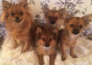 Zoe, som är en Pomeranian Chiwawa, här till vänster med sina tre valpar. Foto: Privat