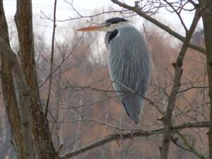 va på en reptilmässa i solna och passade på att fota lite fågel vid råstasjön. bland annat denna gråhäger som satt i ett ett träd.