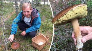 Svampen ska rensas redan i skogen och sedan bäras i korg, enligt Lennart Vessberg, svampkonsulent, Härnösand.