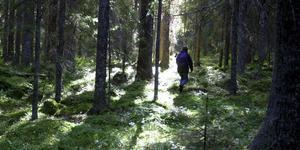 Vägsjöknösen. Kustnära artrik kalkbarrskog – i Häggdånger finns det artrika naturreservatet.