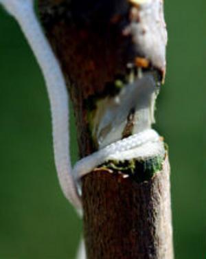 Linan knyts fast i ett jack i aspstammen.