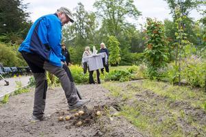 Kent Thelberg gräver upp den potatis som återstår.