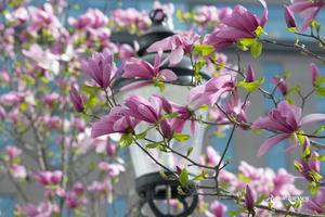 Snart blommar magnolian utanför Centralen i Stockholm. Foto: Runar Larsson
