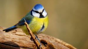 Småfåglar kan vara kvicka och svåra att fånga på bild. En av de lättare är blåmesen som tycks sitta och fundera.  Bilderna är från Lindholmens Naturreservat utanför Norrtälje. Foto: Björn Karlsson