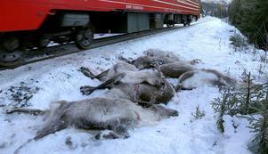 Drygt 100 renar dödades av tåget i Norge.Foto: John Erling Utsi/TT