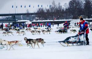 Starten har precis gått i Amundsen race. Från Badhusparken i Östersund till målet, Idrettsparken i Röros, är det 422 kilometer. Hundspannen beräknas klara av sträckan på tre dygn. Foto: Ulrika Andersson