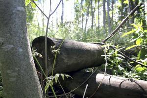I skogen på Övergård ligger ett gammalt upplag av elstolpar impregnerade med bekämpningsmedlet kreosot.