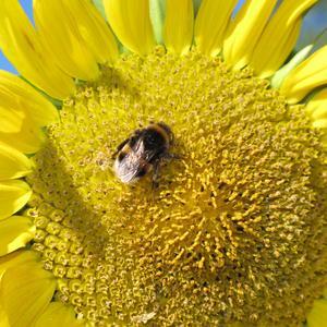 En solig dag i oktober och humlan besökte den sista solrosen som fortfarande var i full blom.
