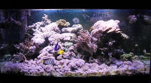 Ted Molin har två saltvattensakvarier, två akvarier med bräckt vatten och ett sötvattensakvarium. Här på bilden syns ett av hans akvarium med saltvatten.