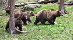 Inför höstens licensjakt på björn kommer en områdesindelning att göras i Gävleborg.