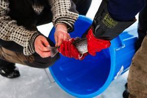 En av fiskarna märks med en ståltråd runt stjärtspolen. Den fisken är värd 3 000  kronor!
