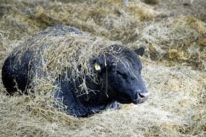 Angustjuren Julle verkar inte alls bekommen över att få massa hö sprutat över sig. Han fortsätter bara tugga i lugnan ro.