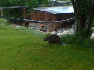Inte ens bävern klarar av kraften i vattnet vid den rasade bron i Almo utanför Leksand.