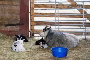 Fanny med sina små lamm som ligger närmast henne.