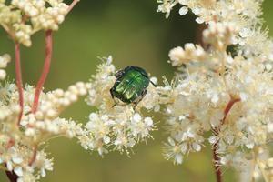 Grön skalbagge på vit blomma. Under en härlig promenad på Björnön i det underbara sommarvädret i torsdags fotade jag denna insekt i en härlig omgivning.