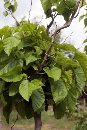 Kanadensiska Sicksackmullbär är en av trädsorterna som ska planteras runtom i Gävle.
