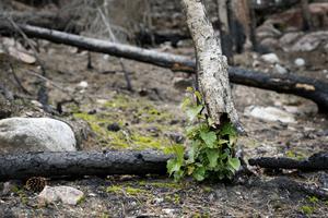 En till synes död björk har skjutit skott från rötterna som tydligen överlevt brandens ödeläggelse av skogsområdet.