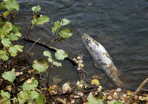 När tidningen kollade i omgivningen runt Laxön kunde vi upptäcka ett flertal döda laxar.