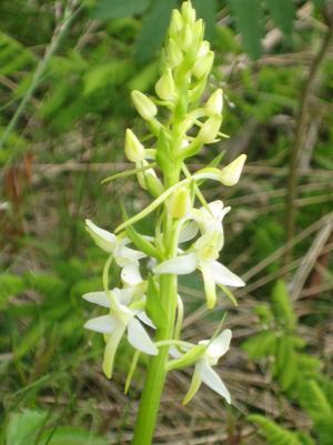 Nattljus (orkidé)