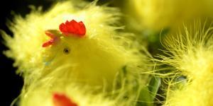 Du kanske hittar en liten kyckling? Foto: Janerik Henriksson / TT