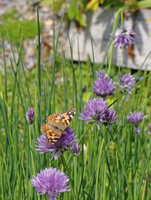 Fjärilar har många blommor att besöka, här gräslök.