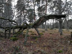 Jag, min kompis o hans son var vid Strömsholms slott o vandrade. Såg detta fina gamla träd, ser precis ut som en komodovaran... format av naturen själv. Foto: Tobbe Jonsson