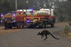 En wallaby flyr flammorna under förra årets skogsbränder i Australien. Foto: Rick Rycroft/AP