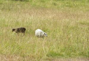 Gult gräs till fåren.
