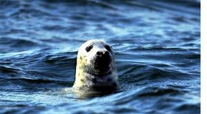 Jag tycker att vi alla borde oroa oss över hur den allt större sälstammen påverkar våra kustnära fiskarter, skriver insändarskribenten.