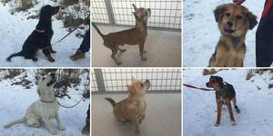 De sex hundarna som går att köpa från Länsstyrelsen. Bild: Länsstyrelsen Västernorrland