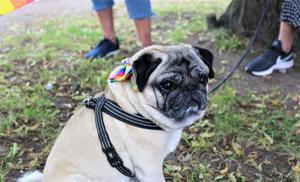 Mopsen Charlie hade en fin Priderosett dagen till ära.