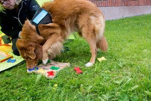 Alwin tränar lite hundmemory mellan lässtunderna där matte placerat godis under bitarna.