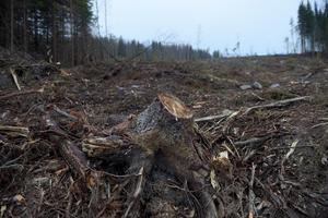Gammelskogar avverkas för att ge plats åt människan och hennes intressen, menar Eva Andersson.