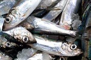ARKIVBILD Dioxindrabbade. Strömming, som fångats i Bottenhavet, innehåller dioxinhalter som är fem gånger högre än EU:s gränsvärden.